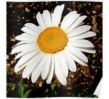 Close-up of a little daisy Poster