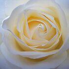 White Rose by Charlotte Stevens