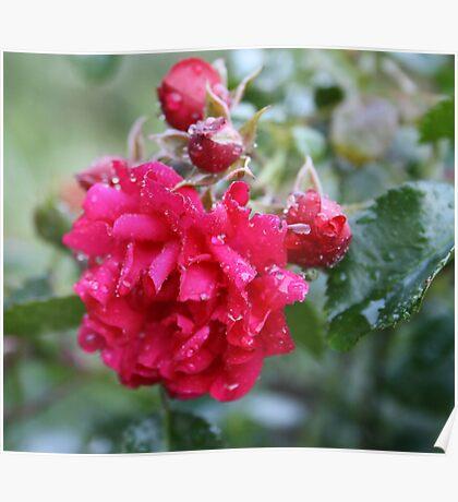 DEEP PINK ROSE Poster