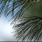white pine... by dabadac