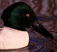 The Shoveler Duck by snapdecisions