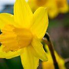 Yellows beauty by Heather Paakkonen