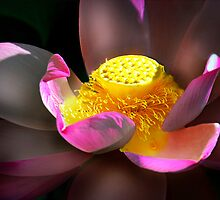 Light on the Sacred Lotus by Mark Richards
