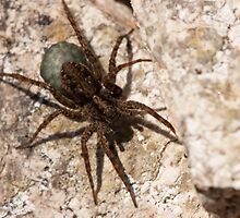 spider with egg sac by Jon Lees