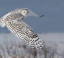 Snowy Owl by MIRCEA COSTINA