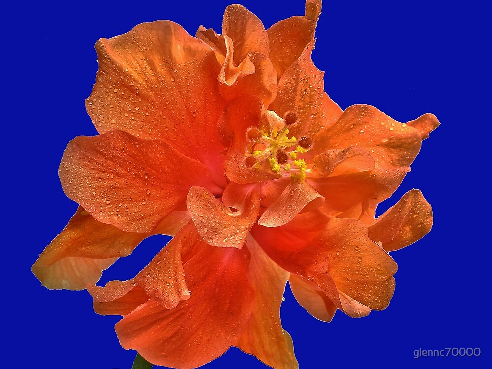 Orange Hibiscus #2 by Glenn Cecero