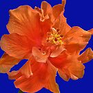 Orange Hibiscus #2 by glennc70000