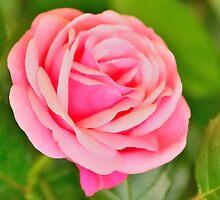 Pink Rose by Steve