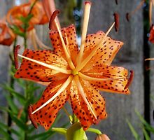 Tiger Lilly by jormar1990