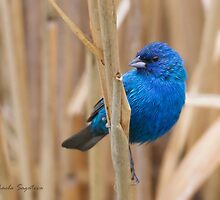 Indigo Bunting on grass by PixlPixi