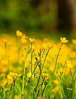 Buttercup Fields by Scott  Hafer