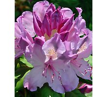 Pink Rhody Photographic Print