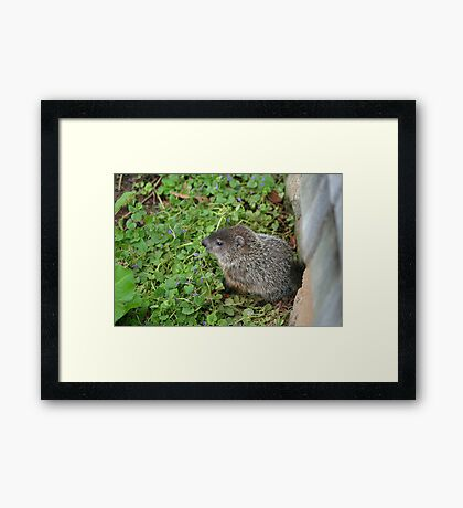 Baby Groundhog Framed Print