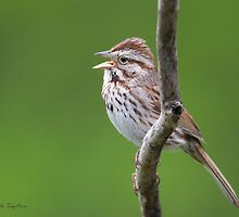 Song Sparrow by PixlPixi