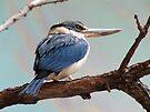 Mangrove Kingfisher by Veronica Schultz