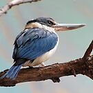 Mangrove Kingfisher by Veronica Schultz