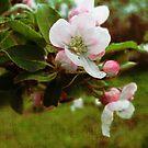 Apple Blossom on Linen by L J Fraser