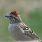 Red Topped Brown Bird...Chirping Sparrow by MaeBelle