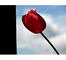 Side of Tulip Photographic Print