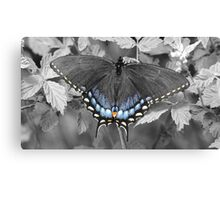 Female Swallowtail in selective color. Canvas Print