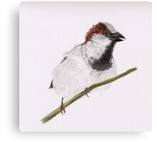 The Watch Dog (house sparrow perched on branch) Canvas Print