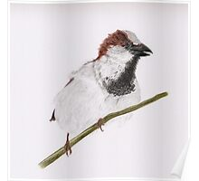 The Watch Dog (house sparrow perched on branch) Poster