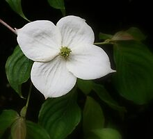 Kentucky Dogwood by Julie's Camera Creations <><
