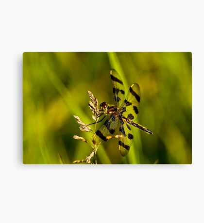 Brown Spotted Yellow-wing Dragonfly Canvas Print