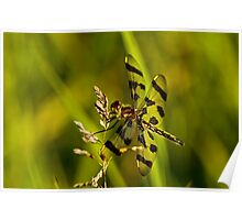 Brown Spotted Yellow-wing Dragonfly Poster