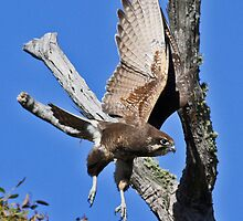Brown Falcon about to swoop on his prey by Cindy McDonald