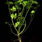 Parsley by Barbara Wyeth