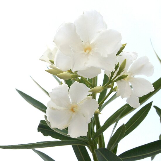 White Oleander Flowers Close Up Isolated On White Background  by taiche
