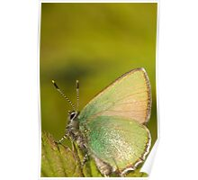 Green butterfly Poster