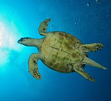 Sea turtle swimming by Fiona Ayerst
