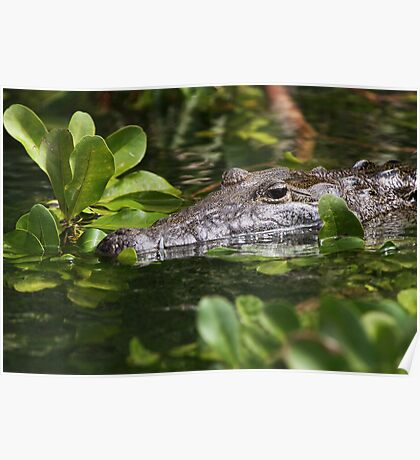 Belize Crocodile Poster
