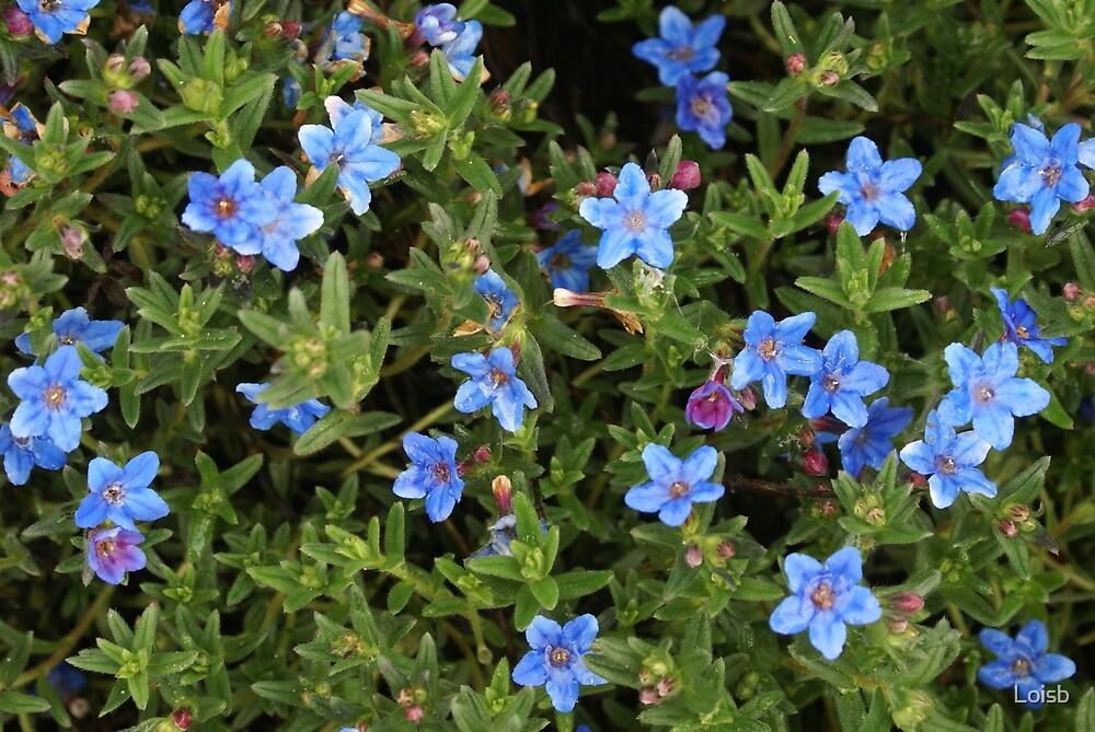 Blue flowers on a green bush by loisb redbubble for Blue flowering bush