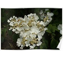 White Blossoms in the Spring Poster