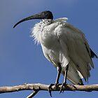 Australian White Ibis by Cindy McDonald