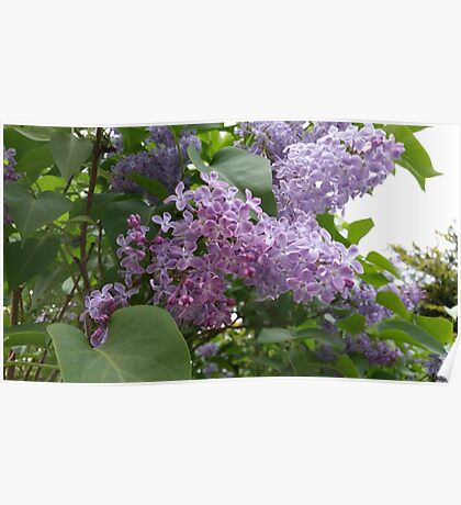 Lilac Blooms Poster