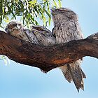 Tawny Frog Mouth and babies. by Cindy McDonald
