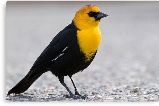 Yellow-headed Blackbird by Eivor Kuchta