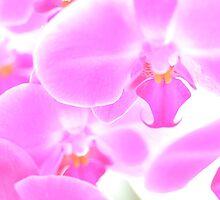 An Abundance of Orchids by Melanie Simmonds