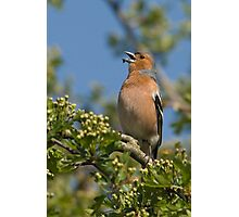 Singing Chaffinch Photographic Print