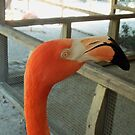 Pink Flamingo Close Up by TVANO12345