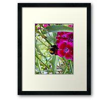 bee on sweet williams Framed Print