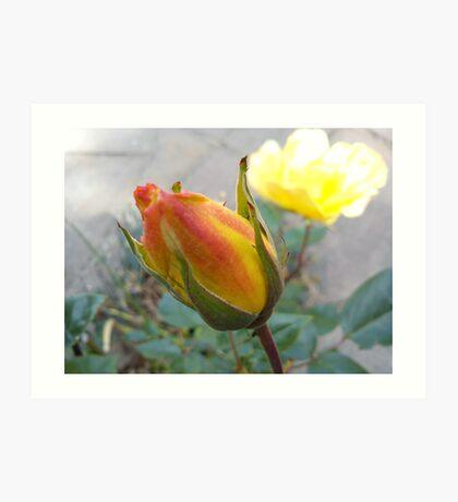 orange rose bud Art Print