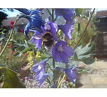 bee on delphinium Photographic Print
