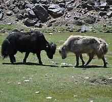 The Fighting Yaks - Himachal Pradesh, India by idsu