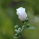 rose of sharon... by dabadac