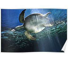 Fish:Underwater-Sea Turtle from below Poster